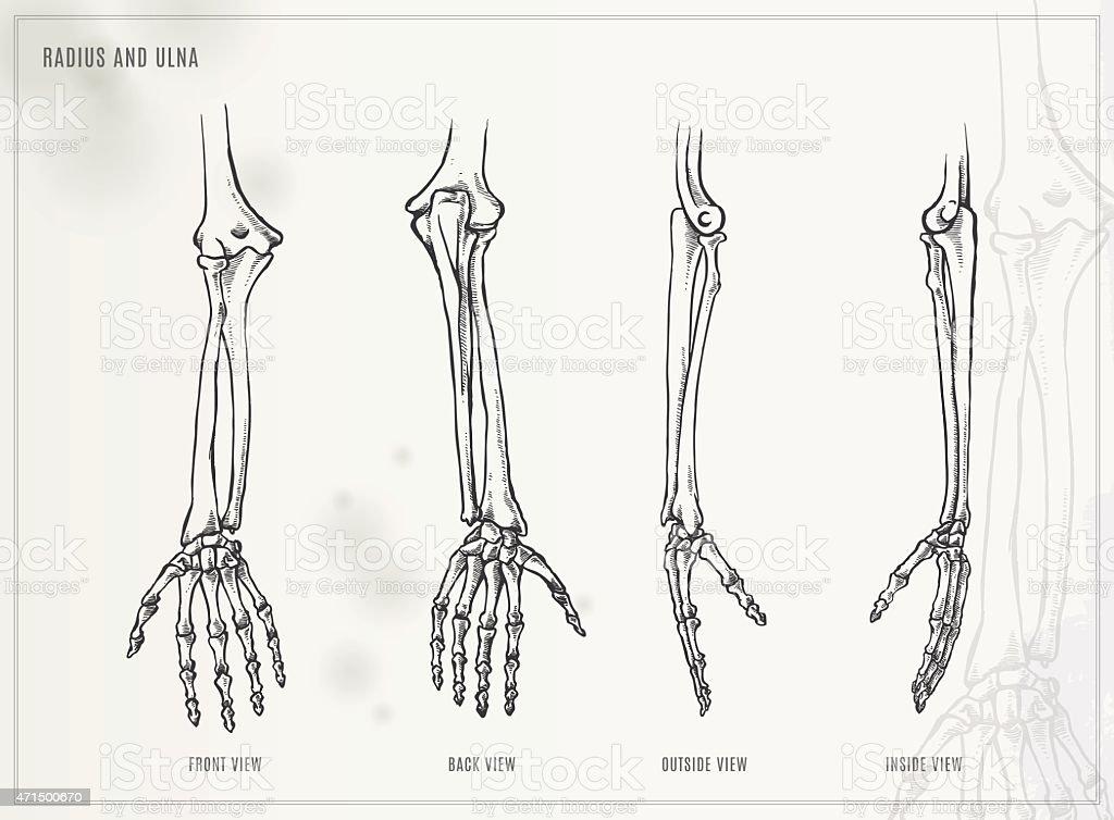 Ilustración de Cúbito Y Radio Medical Ilustración y más banco de ...