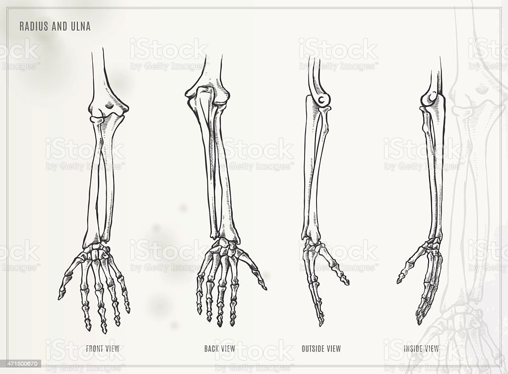 Ulna and Radius. Medical illustration vector art illustration