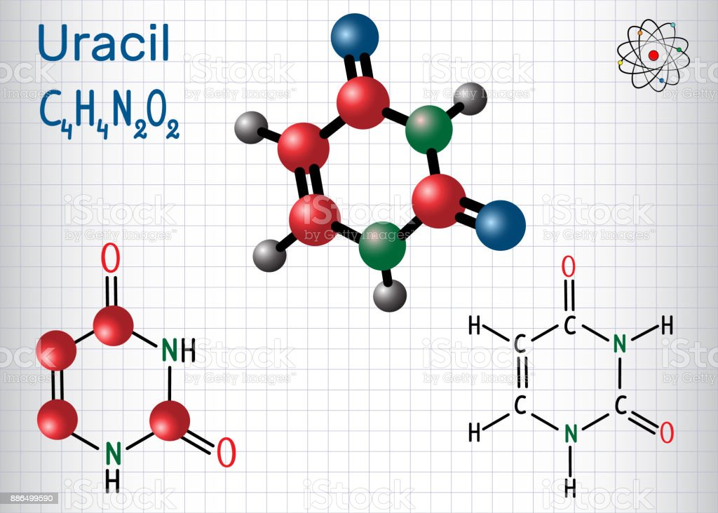 Uracil  (U) - pyrimidine  nucleobase in the nucleic acid of RNA. Structural chemical formula and molecule model. Sheet of paper in a cage vector art illustration