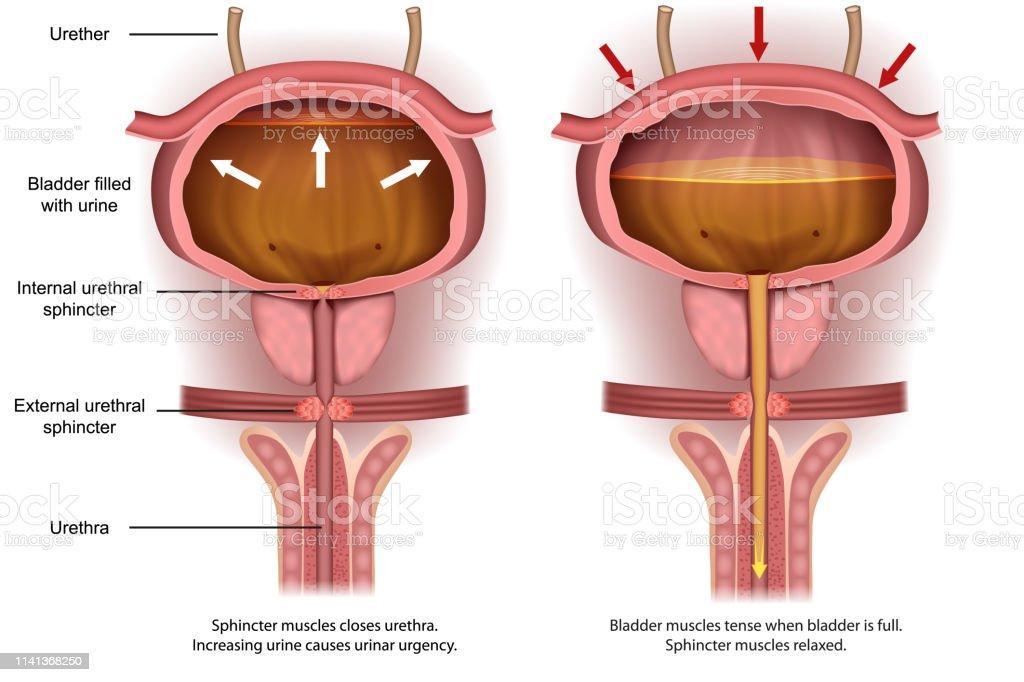 Vetores De Anatomia Urinária Da Bexiga Da Urgência