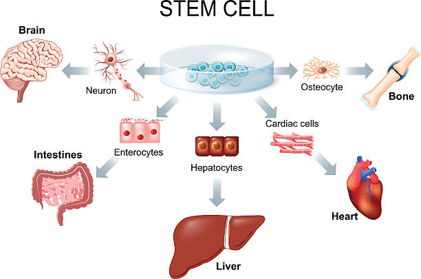Using stem cells to treat disease stem cell application. Using stem cells to treat disease stem cell stock illustrations