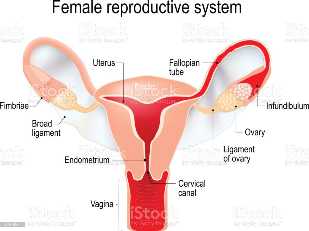 uterus with broad ligament on the white background vector art illustration
