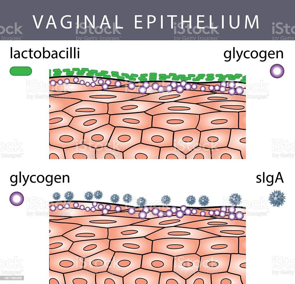 Vaginal Epithelium with Glycogen vector art illustration