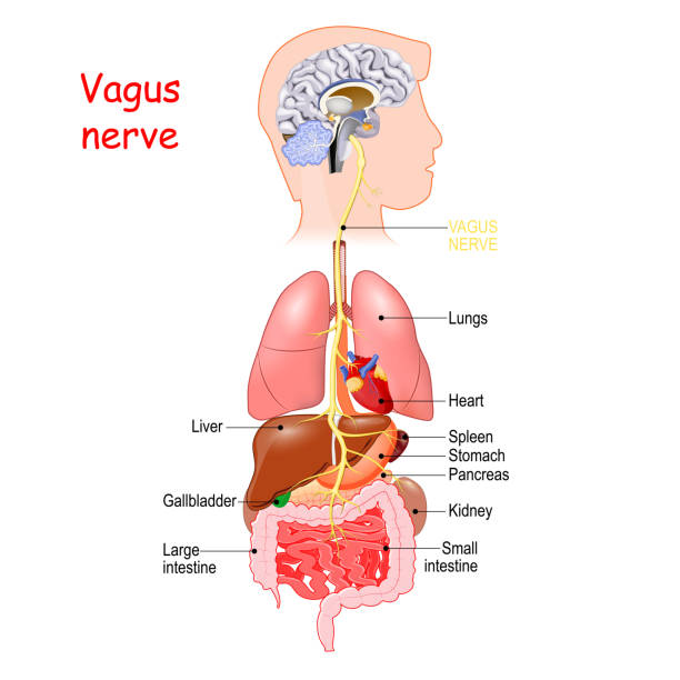 vagus nerve vagus nerve interfaces with the parasympathetic control of the heart, lungs, and digestive tract. longest nerve of the autonomic nervous system neurology stock illustrations