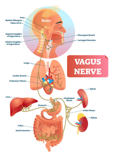Vagus nerve vector illustration. Labeled anatomical structure and location. Vagus nerve vector illustration. Labeled anatomical structure scheme and location diagram of human body longest nerve. Infographic with isolated ganglion, branches and plexus. Inner biological ANS. neurology stock illustrations