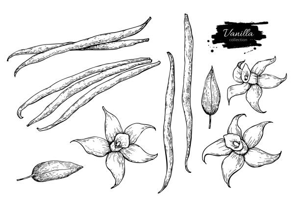 vanilla flower and bean stick vector drawing set. hand drawn sketch food - plant pod stock illustrations