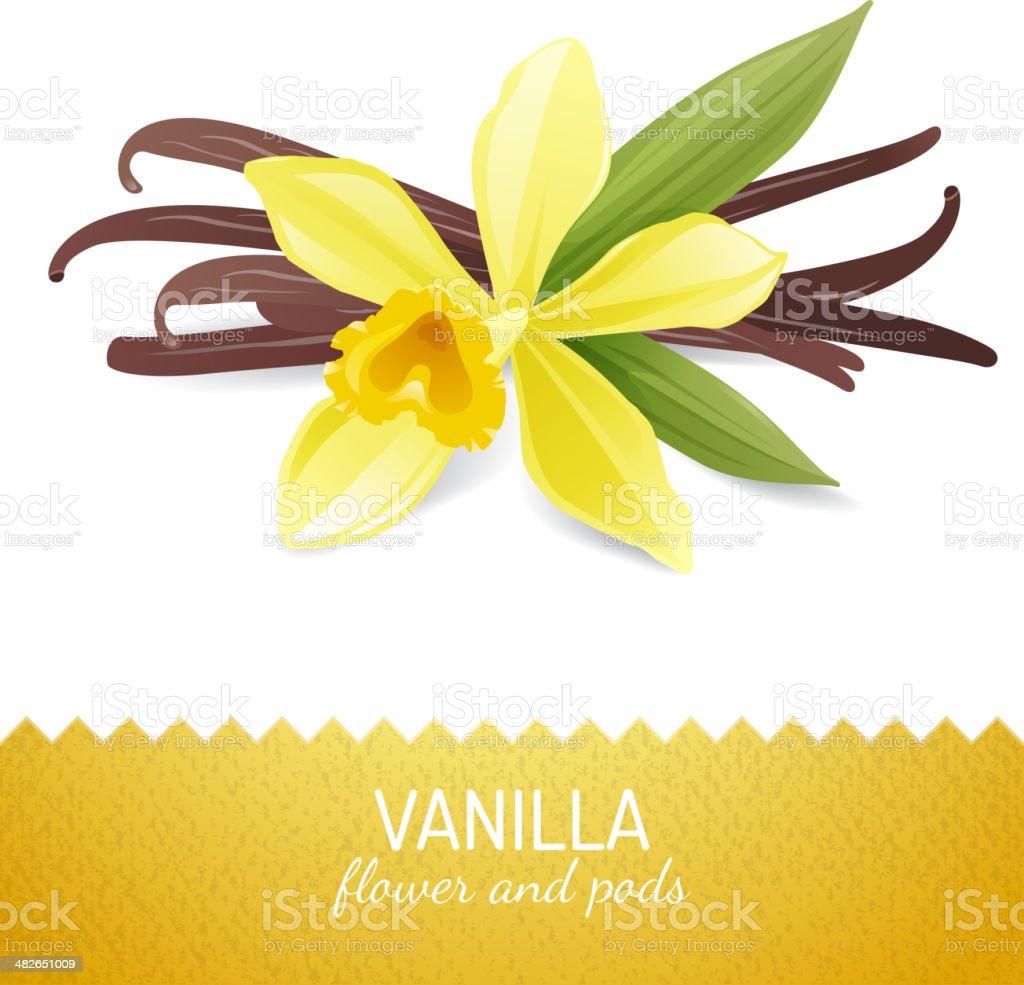 vanilla flower and pods vector art illustration