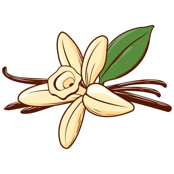 stockillustraties, clipart, cartoons en iconen met vanille bloem en stok. - vanille