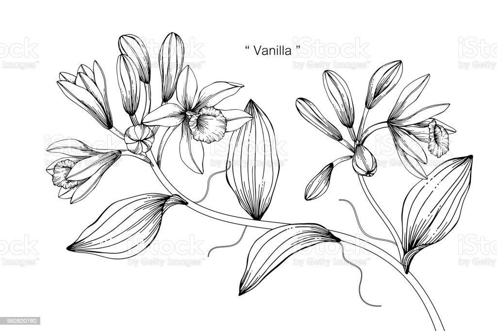 Illustration Dessin Fleur De Vanille Noir Et Blanc Avec Dessins Au
