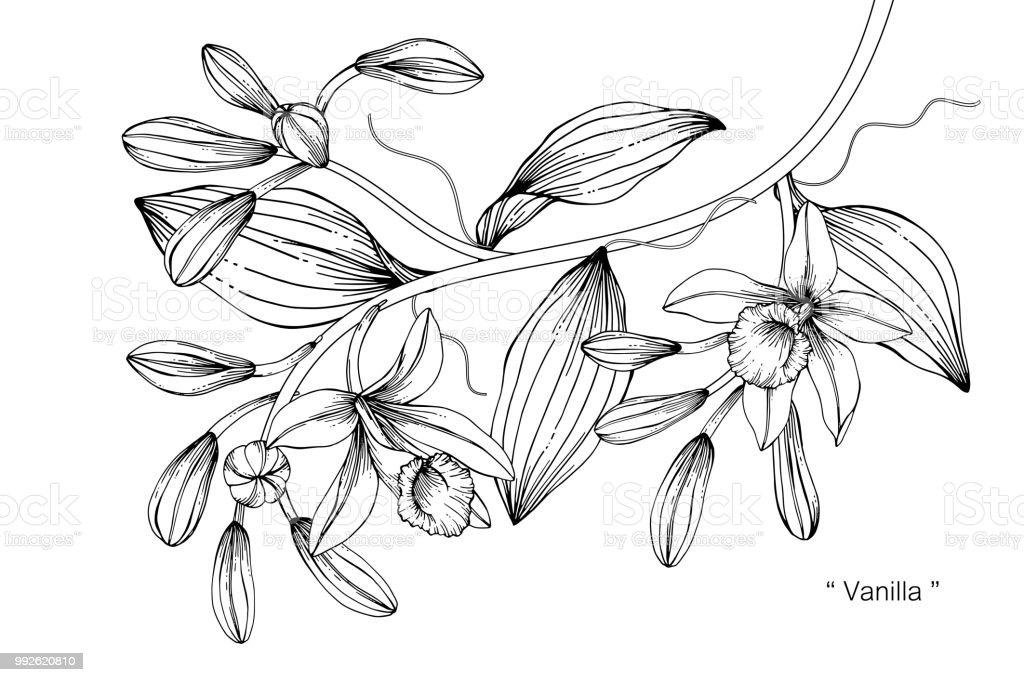 Ilustración De Ilustración De Dibujo De Flor De Vainilla