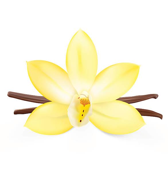 Vanilla flower on white background. Vector illustration vector art illustration