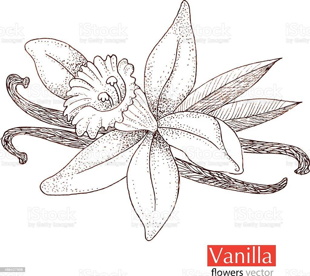 Vanilla Flower Sketch Set Stock Vector Art U0026 More Images Of 2015 468407958 | IStock