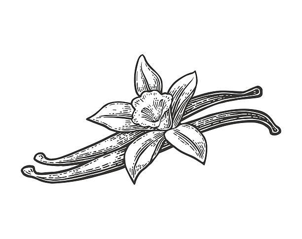 Vanilla pods and flower. Vector black vintage engraved vector art illustration