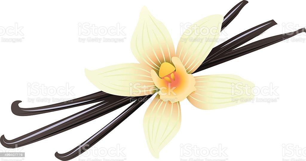 Vanilla pods and flower vector art illustration