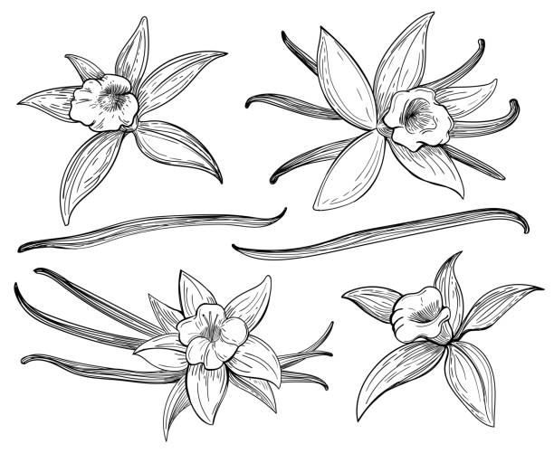 vanilla pods or sticks hand drawing sketches - plant pod stock illustrations