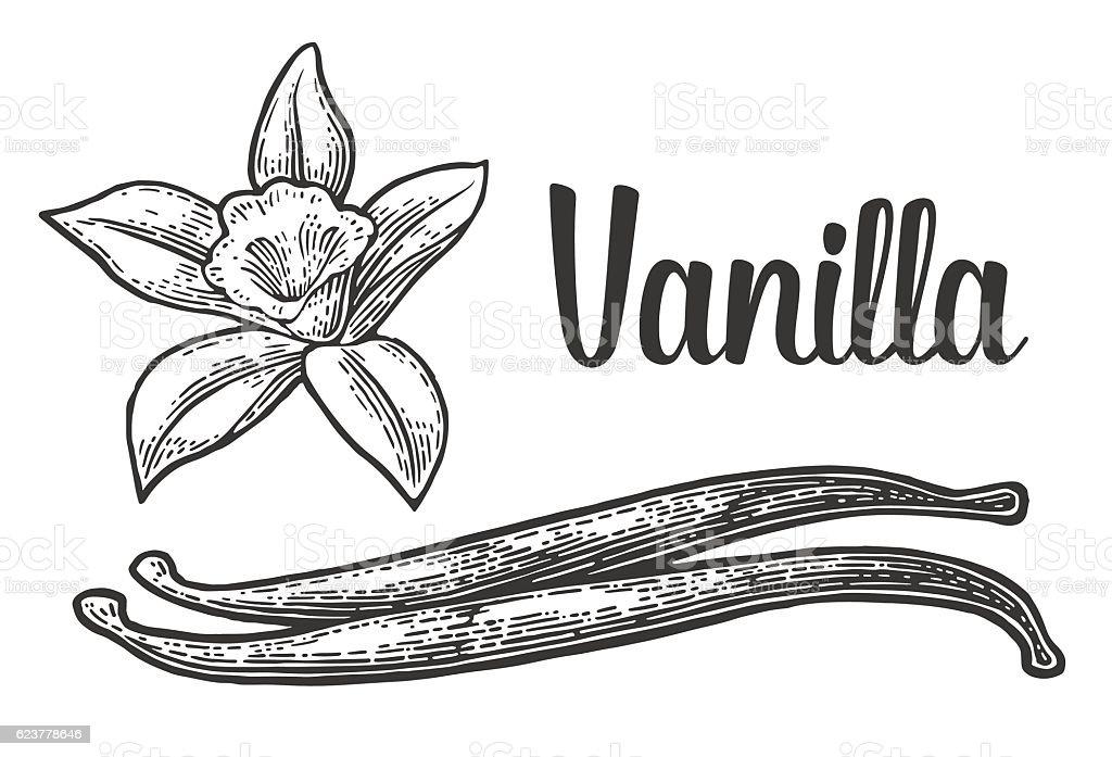 Vanilla stick and flower. Vector black vintage engraved vector art illustration