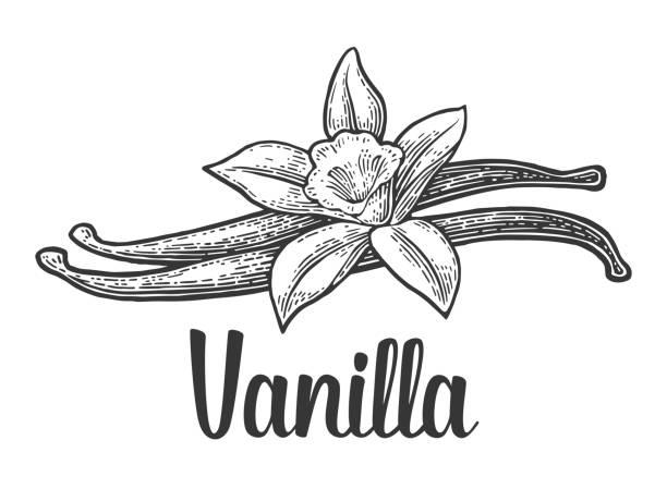 stockillustraties, clipart, cartoons en iconen met vanillestokje en bloem. vector zwart vintage gegraveerd - vanille
