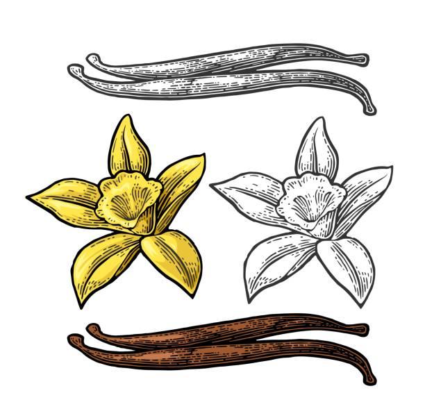 stockillustraties, clipart, cartoons en iconen met vanillestokje en bloem. vector kleur vintage gravure - vanille