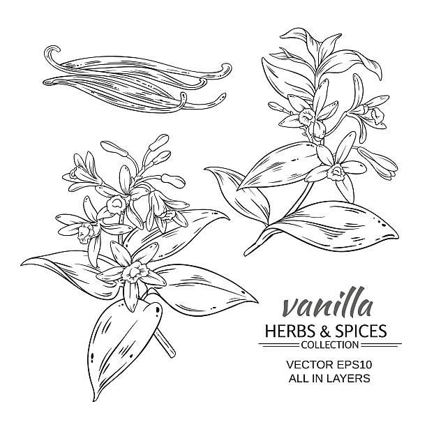 stockillustraties, clipart, cartoons en iconen met vanilla vector set - vanille