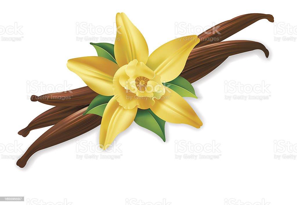 Vannilla flower vector art illustration