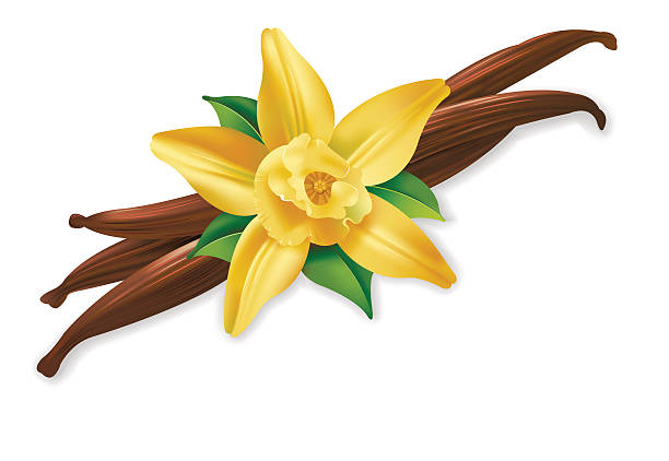 stockillustraties, clipart, cartoons en iconen met vannilla flower - vanille