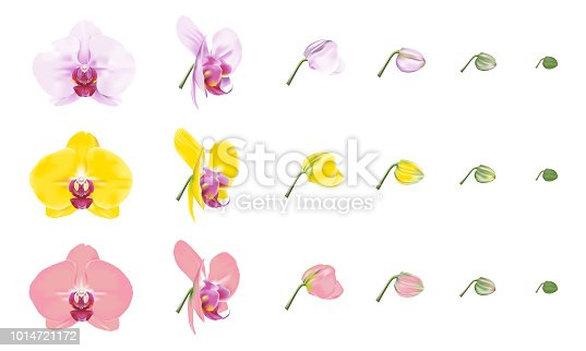 Phalaenopsis orchid or moth orchid color varieties. Beautiful tropical flower blossoms set on white background. Vector illustration.