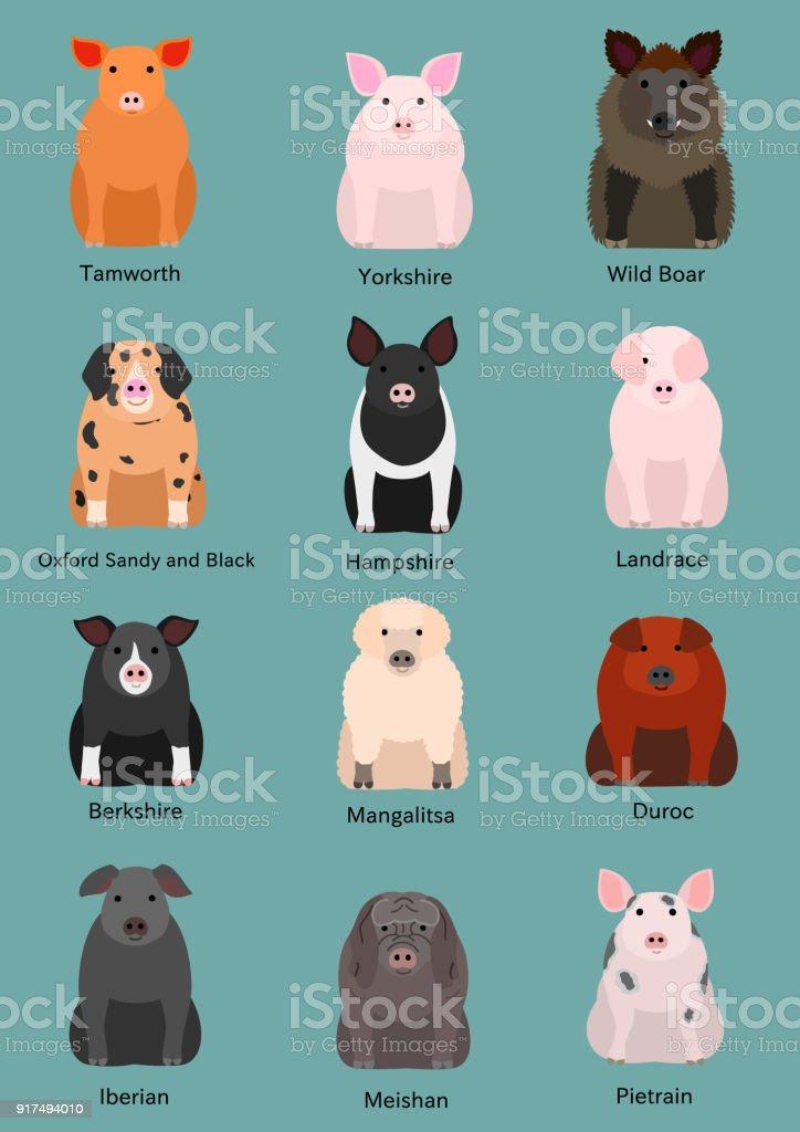 various breeds of pigs vector art illustration