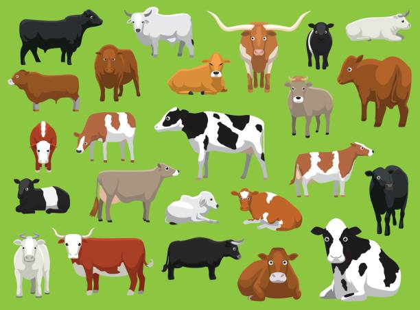 ilustrações de stock, clip art, desenhos animados e ícones de various cow bull cattle poses vector illustration - beef angus
