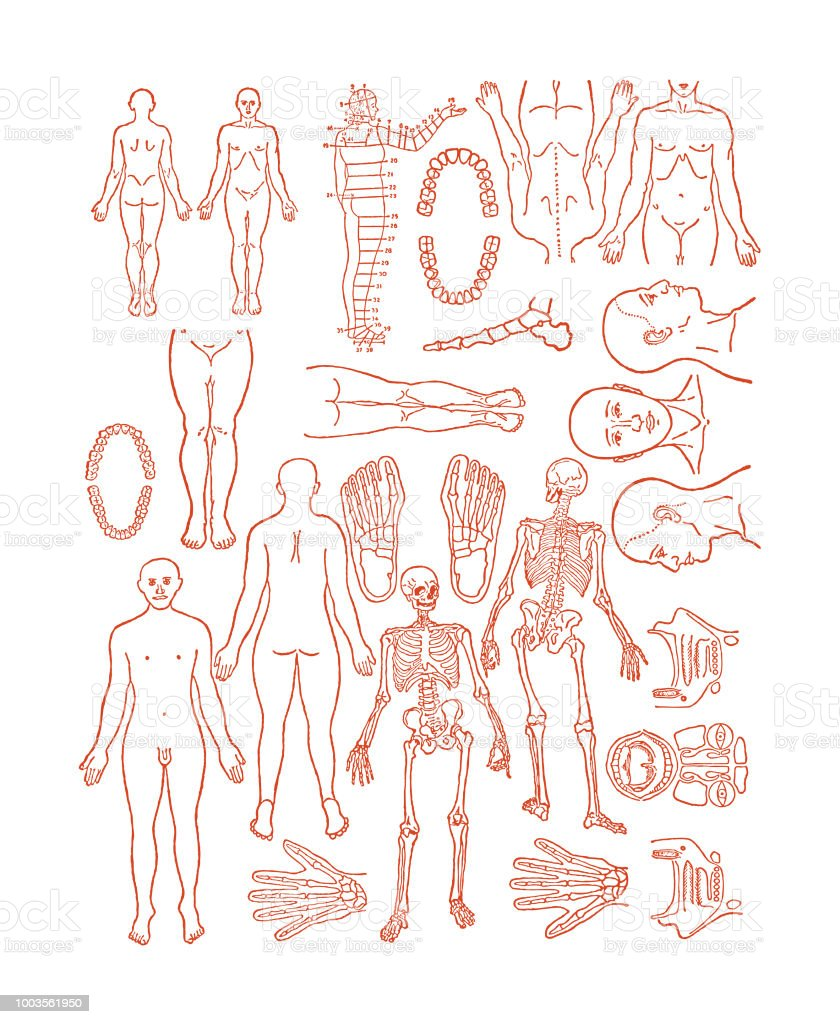 Various Human Body Parts Stock Vector Art & More Images of Anatomy ...