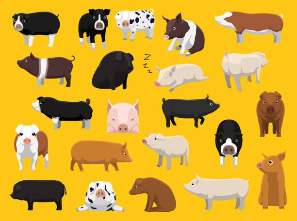 Various Pig Breeds Poses Cartoon Vector Illustration vector art illustration