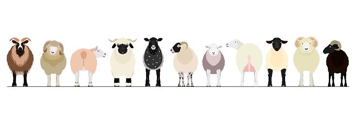 various sheep border