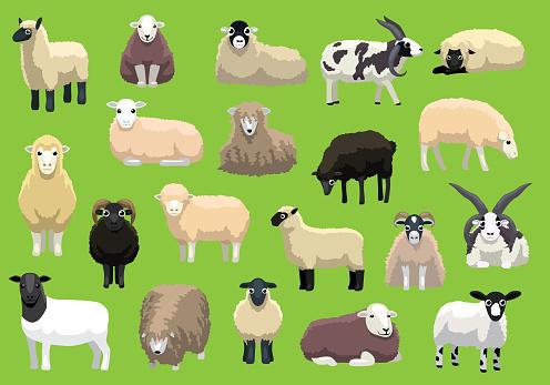 Various Sheep Breeds Poses Cartoon Vector Characters