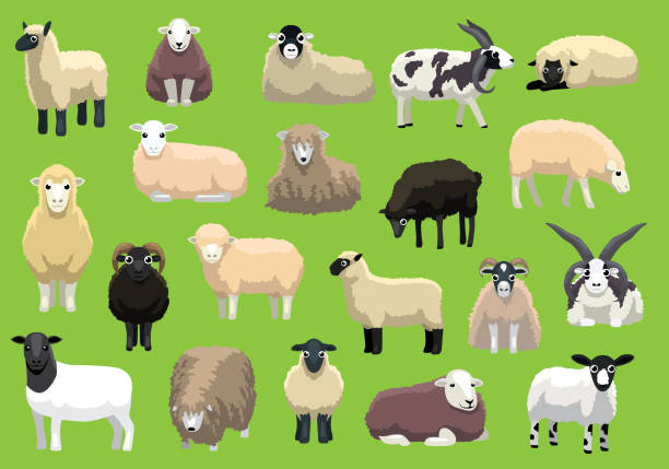 stockillustraties, clipart, cartoons en iconen met schapen rassen poses cartoon vector bijpersonages - schaap
