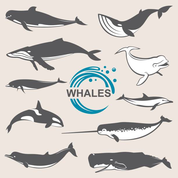 various whales set collection of various whales species images killer whale stock illustrations