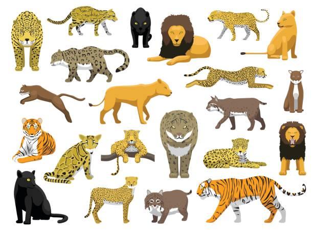 various wild cat panthera vector illustration - jaguar stock illustrations