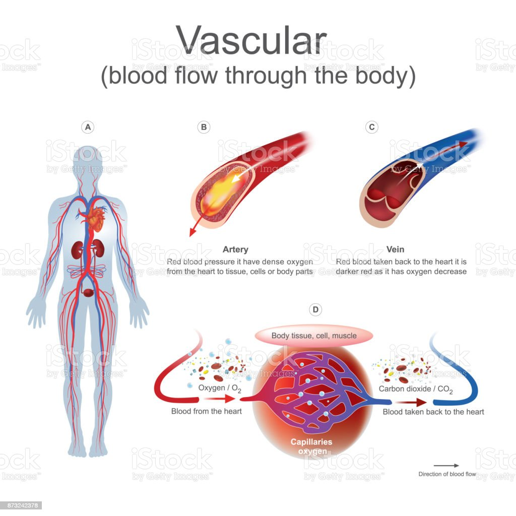 Vascular blood flow through the body.