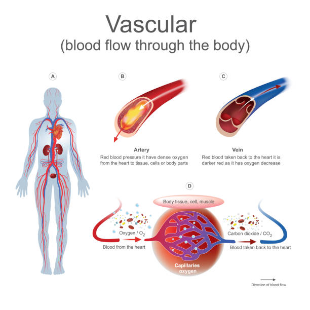 Vascular blood flow through the body. vector art illustration