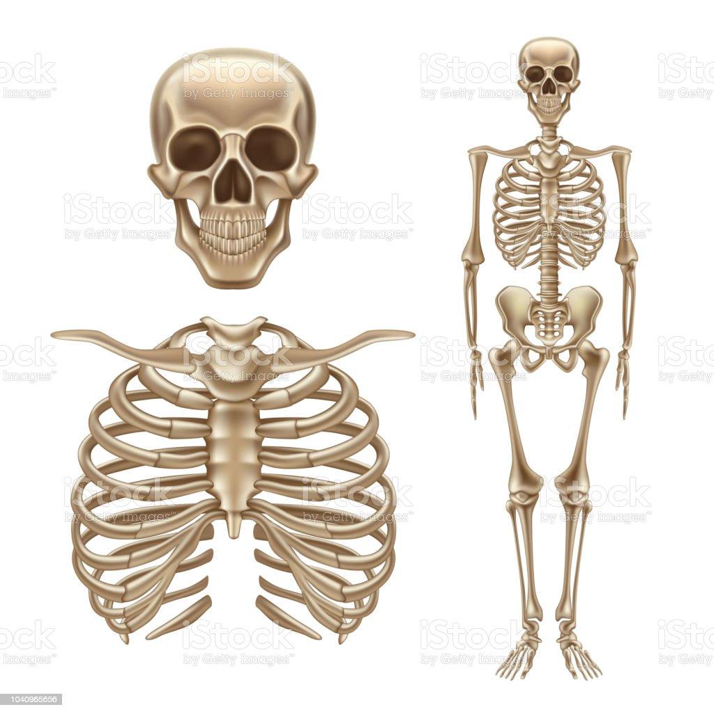 Ilustración de Vector 3d Humano Esqueleto Los Huesos Del Cráneo ...