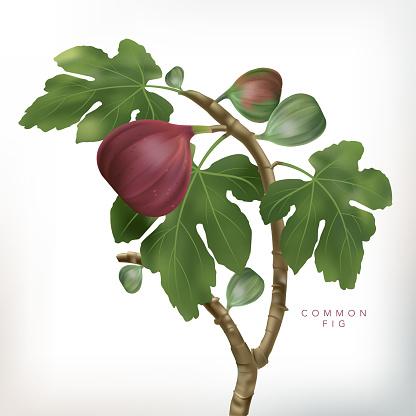 Vector 3D illustration Common Fig Tree Illustration in White Background