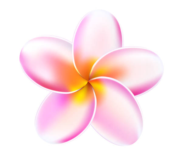 Vector 3d plumeria frangipani tropical flower Plumeria tropical flower. Relistic 3d frangipani pink blossom blooming. Exotic floral illustration. Spa, summer holiday, paradise hawaii resort, beach party symbol. Isolated vector illustration frangipani stock illustrations