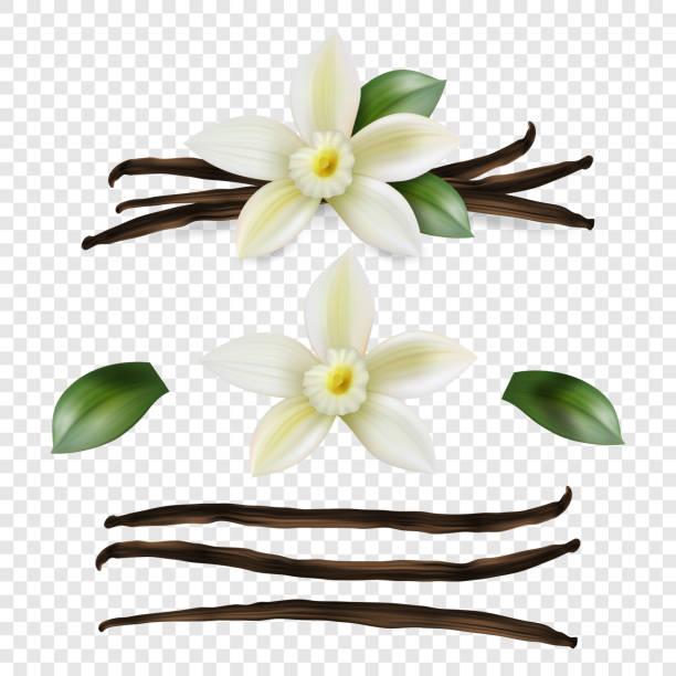 stockillustraties, clipart, cartoons en iconen met vector 3d realistische zoete geurende verse vanille bloem met gedroogde zaad peulen en bladeren set close-up geïsoleerd op transparante achtergrond. onderscheidend aroma, culinair concept. vooraanzicht - vanille