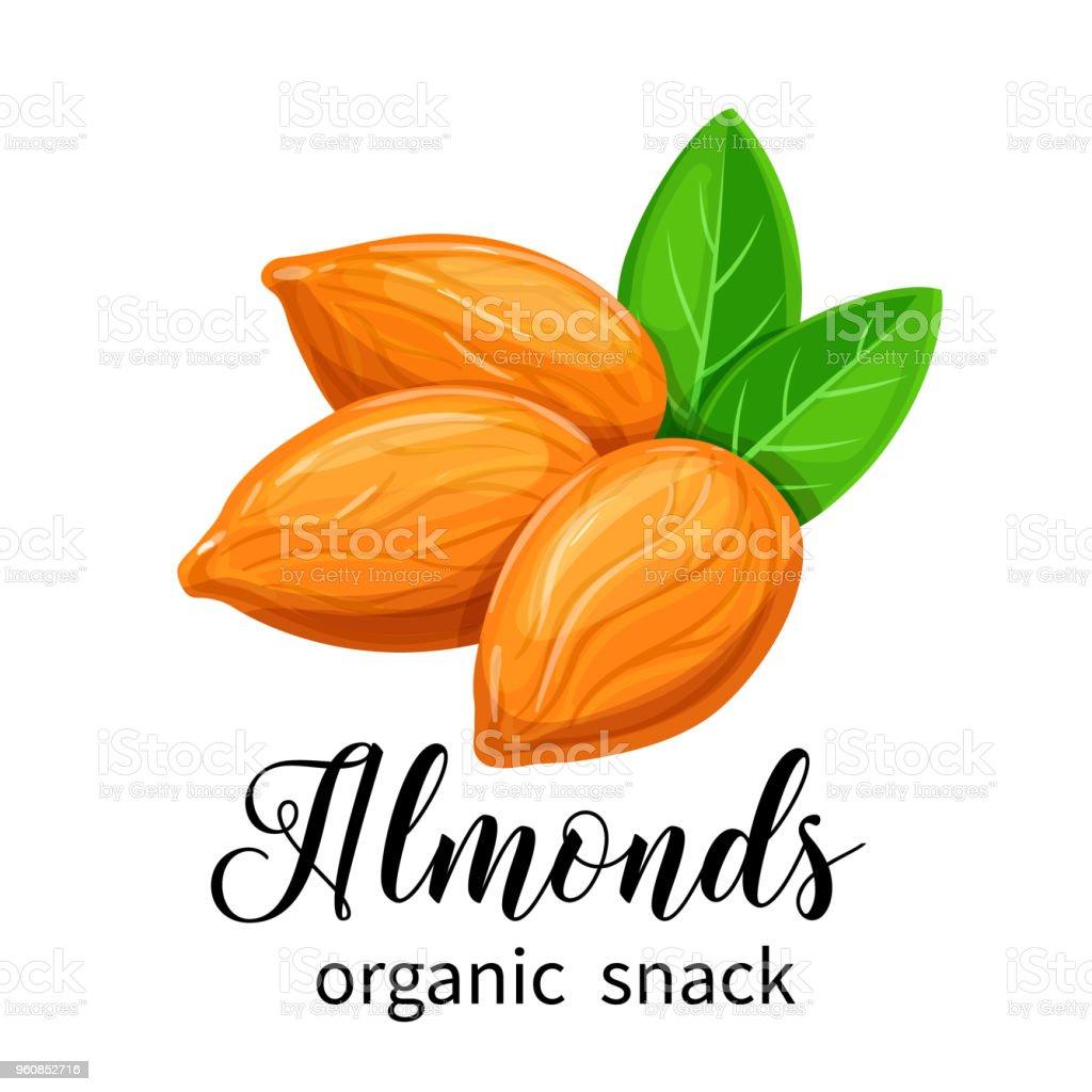 Vector almond nuts vector art illustration