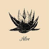 Vector aloe illustration. Hand drawn agave sketch. Officinalis plant background. Botanical,medicinal,cosmetic herb card.