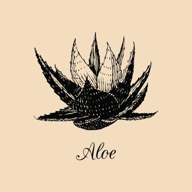 Vector aloe illustration. Hand drawn agave sketch. Officinalis plant background. Botanical,medicinal,cosmetic herb card. vector art illustration