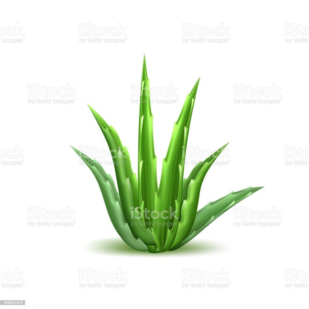 aloe vera plante finest photo aloe vera plante with aloe vera plante best aloe vera plante. Black Bedroom Furniture Sets. Home Design Ideas