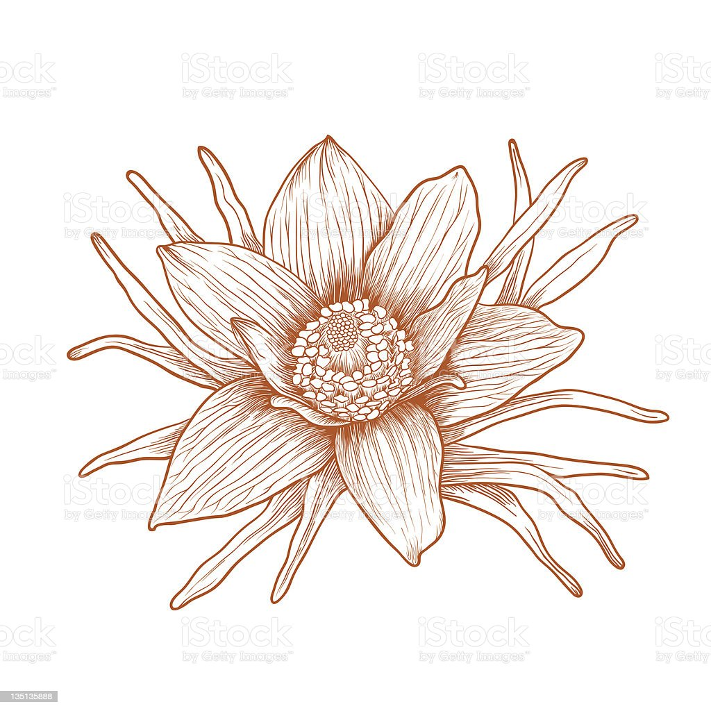 Vector anemone flower. royalty-free vector anemone flower stock vector art & more images of anemone flower