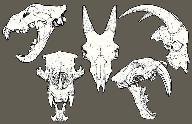 vector animal skull pack: lion, goat, bear, saber tooth - animal skull stock illustrations