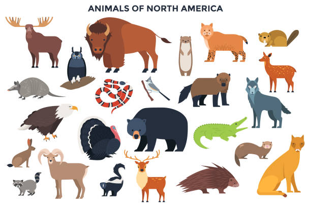 Vector Animals of North America Bundle of wild forest animals and birds or North America. Collection of continent inhabitants. Set of cute cartoon characters isolated on white background. Colorful vector illustration in flat style. raccoon stock illustrations