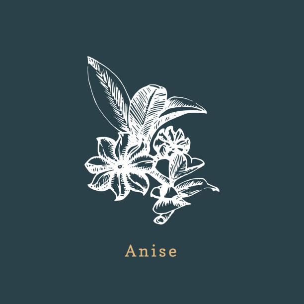 Vector anise sketch.Drawn spice herb.Botanical illustration of organic, eco plant.Used for farm sticker, shop label etc. vector art illustration