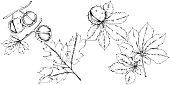 Vector autumn chestnut plant and leaves. Leaf plant botanical garden floral foliage. Isolated illustration element. Vector leaf for background, texture, wrapper pattern, frame or border.